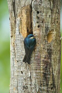 Tree Swallow (Tachycineta bicolor) at nest cavity, Huron Meadows Metropark, Michigan