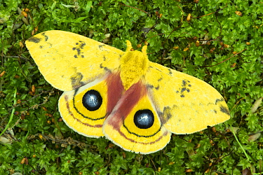 Io Moth (Automeris io), Huron Meadows Metropark, Michigan