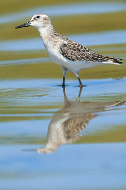 Semipalmated Sandpiper (Calidris pusilla), Magee Marsh Wildlife Area, Ohio
