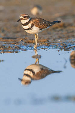 Killdeer (Charadrius vociferus), Magee Marsh Wildlife Area, Ohio