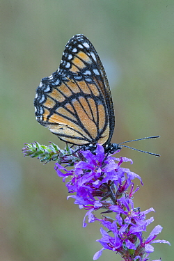 Viceroy Butterfly (Limenitis archippus), Brighton Recreation Area, Michigan