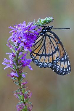 Viceroy Butterfly (Limenitis archippus), Brighton Recreation Area, Michigan