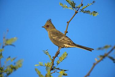 Phainopepla (Phainopepla nitens), Arizona