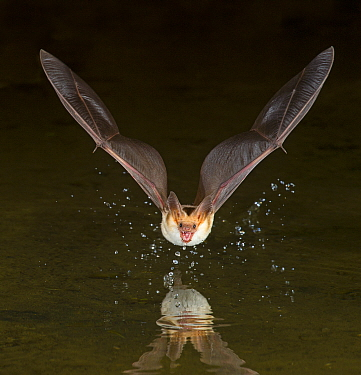 Pallid Bat (Antrozous pallidus) drinking at night while in flight, Arizona