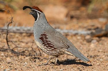Gambel's Quail (Callipepla gambelii) male, Arizona