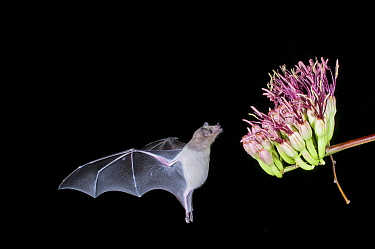 Lesser Long-nosed Bat (Leptonycteris yerbabuenae) feeding on Agave flower nectar at night, Arizona