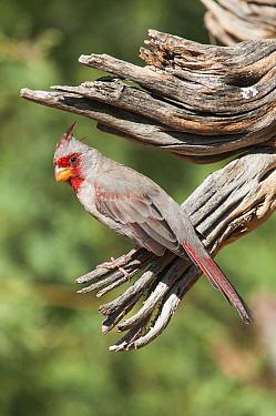 Pyrrhuloxia (Cardinalis sinuatus), Arizona