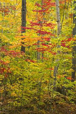 Deciduous forest in autumn, Pictured Rocks National Lakeshore, Michigan