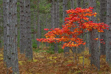 Maple (Acer sp) tree in autumn, Pictured Rocks National Lakeshore, Michigan