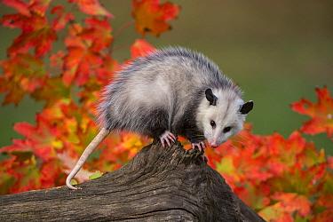 Virginia Opossum (Didelphis virginiana), Howell Nature Center, Michigan