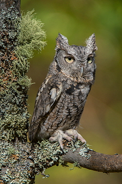 Eastern Screech Owl (Megascops asio), Howell Nature Center, Michigan