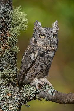 Eastern Screech Owl (Megascops asio), Howell Nature Center, Michigan
