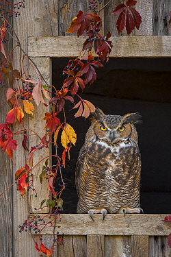 Great Horned Owl (Bubo virginianus), Howell Nature Center, Michigan