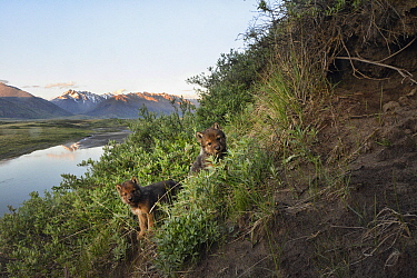 Wolf (Canis lupus) pups at den, in the  Brooks Range at the edge of the Arctic National Wildlife Refuge, Alaska