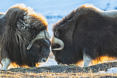 Muskox (Ovibos moschatus) pair fighting, Dalton Highway, Alaska