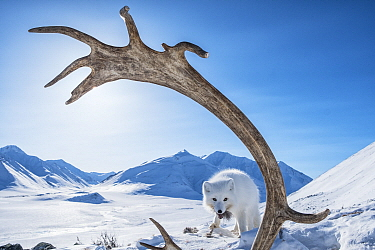 Arctic Fox (Alopex lagopus) feeding on Caribou (Rangifer tarandus) carcass, Brooks Range, Alaska