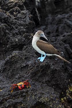 Blue-footed Booby (Sula nebouxii) with Sally Lightfoot Crab (Grapsus grapsus), Santa Cruz Island, Galapagos Islands, Ecuador