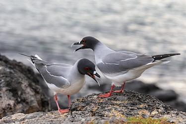 Swallow-tailed Gull (Creagrus furcatus) pair courting, South Plaza Island, Galapagos Islands, Ecuador