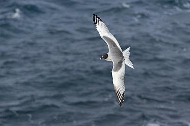 Swallow-tailed Gull (Creagrus furcatus) flying, South Plaza Island, Galapagos Islands, Ecuador