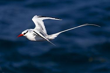 Red-billed Tropicbird (Phaethon aethereus) flying, South Plaza Island, Galapagos Islands, Ecuador