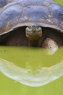 Galapagos Giant Tortoise (Chelonoidis nigra) wallowing, Santa Cruz Island, Galapagos Islands, Ecuador