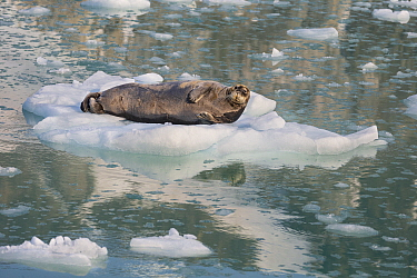 Bearded Seal (Erignathus barbatus)in ice floe, Svalbard, Norway