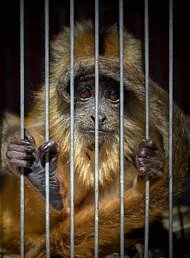 Black Howler Monkey (Alouatta caraya) in cage, Argentina
