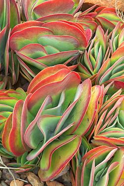 Flapjack (Kalanchoe luciae) succulent, Queensland, Australia