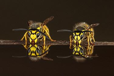 German Wasp (Vespula germanica) and Common Wasp (Vespula vulgaris) drinking water, Germany