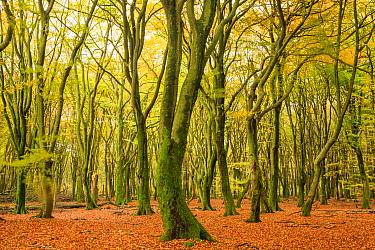 European Beech (Fagus sylvatica) forest in autumn, Gelderland, Netherlands