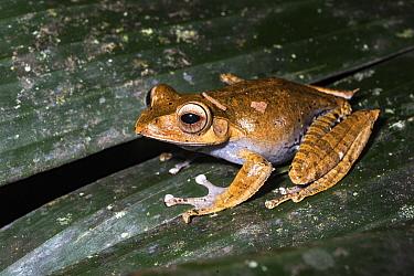 Madagascar Bright-eyed Frog (Boophis madagascariensis), Mantadia National Park, Madagascar