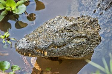 Nile Crocodile (Crocodylus niloticus), Mantadia National Park, Madagascar