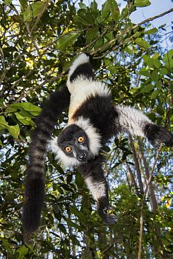 Black And White Ruffed Lemur (Varecia variegata variegata) hanging in tree, Mantadia National Park, Madagascar