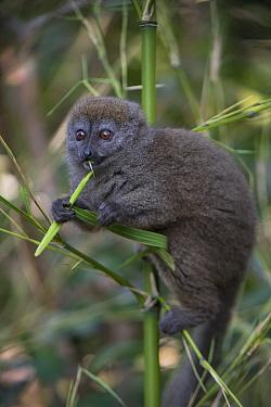 Grey Bamboo Lemur (Hapalemur griseus) feeding, Mantadia National Park, Madagascar