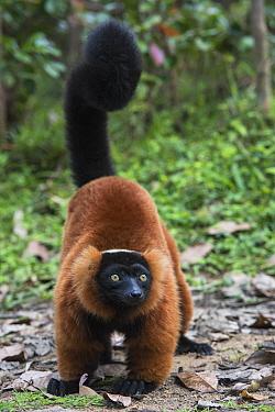 Red Ruffed Lemur (Varecia rubra), Mantadia National Park, Madagascar