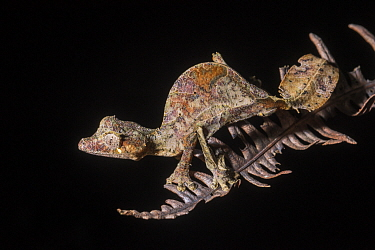 Fantastic Leaf-tail Gecko (Uroplatus phantasticus), Mantadia National Park, Madagascar