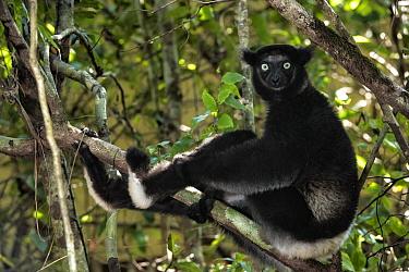 Indri (Indri indri), Kirindy Forest, Madagascar