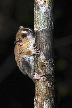 Berthe's Mouse Lemur (Microcebus berthae), smallest primate in the world, Kirindy Forest, Madagascar