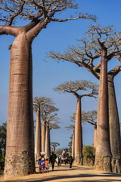 Grandidier's Baobab (Adansonia grandidieri) trees, Avenue of the Baobabs, Madagascar