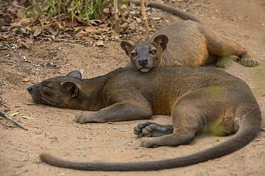 Fossa (Cryptoprocta ferox) pair sleeping, Kirindy Forest, Madagascar