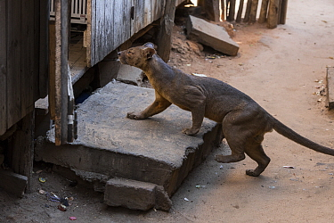Fossa (Cryptoprocta ferox) foraging for food in house, Kirindy Forest, Madagascar