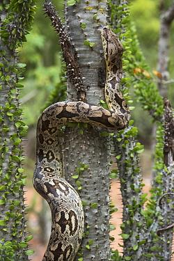 Madagascar Ground Boa (Acrantophis dumerili) climbing tree, Berenty Reserve, Madagascar