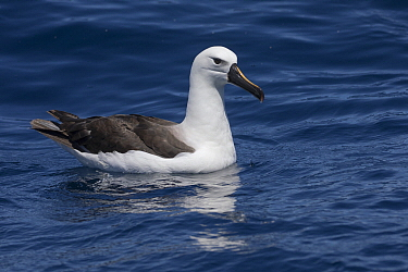 Yellow-nosed Albatross (Thalassarche chlororhynchos), Western Cape, South Africa
