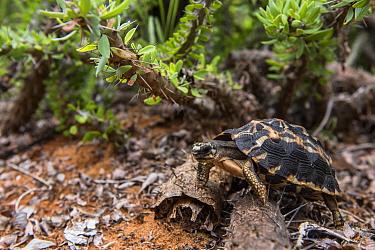 Spider Tortoise (Pyxis arachnoides), Berenty Reserve, Madagascar