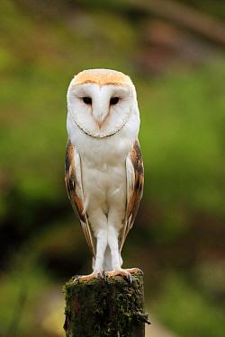 Barn Owl (Tyto alba), Bohemian Forest, Czech Republic