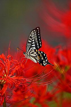 Citrus Swallowtail (Papilio xuthus) butterfly, Saga, Japan