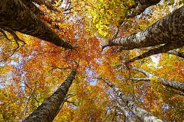 Japanese Beech (Fagus crenata) forest in autumn, Nagano, Japan