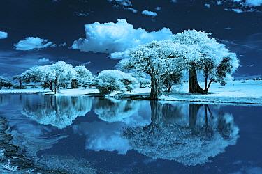 Baobab (Adansonia digitata) trees, Tarangire National Park, Tanzania, infrared photograph