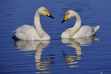 Whooper Swan (Cygnus cygnus) pair, Japan