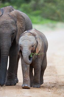 African Elephant (Loxodonta africana) calves, one is feeding, Addo National Park, South Africa